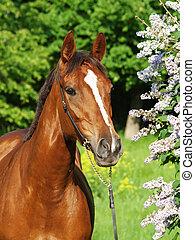 porträt, von, schöne , rotes pferd