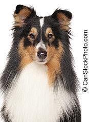 porträt, von, shetland sheepdog