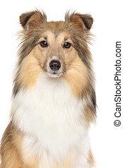 porträt, von, shetland sheepdogs