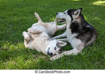 porträt, von, zwei, hunden, -, sibirischer schlittenhund