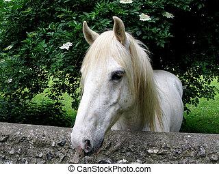 porträt, weißes, pony