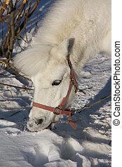 porträt, weißes, pony, winter