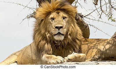 portræt, i, mandlig løve