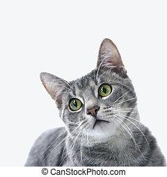 portré, csíkos, cat., szürke