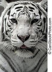 portré, fehér, tigress, közelkép