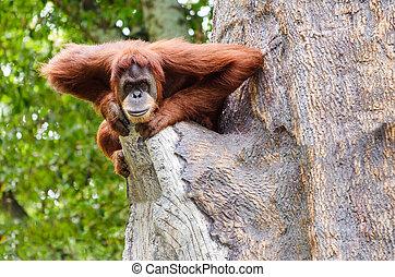 portré, felnőtt, orangutan