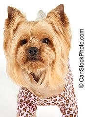 portré, hajvágás, finom, kutya