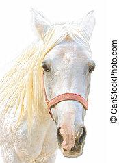 portré, közül, egy, white ló