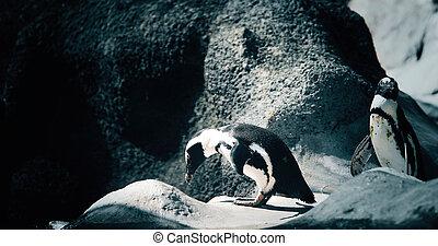 portré, közül, két, pingvin, álló, képben látható, köves part