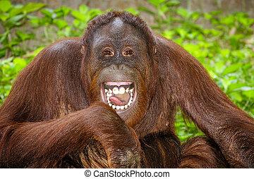 portré, közül, orangutan, nevető