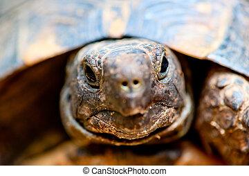 portré, közül, teknősbéka, elzáródik