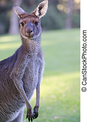 portré, kenguru, ausztrália