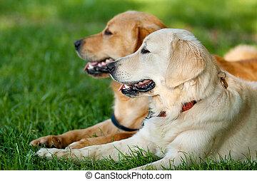 portré, kutyák, fiatal, szépség, két