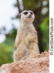 portré,  Meerkat