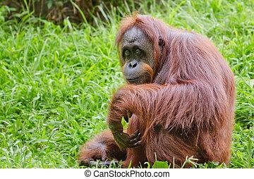 portré, női, orangutan