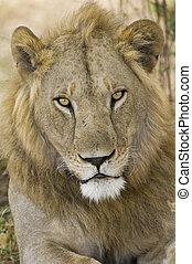portré, oroszlán, hím