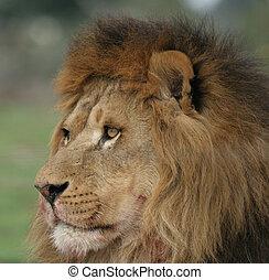 portré, oroszlán