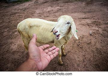 portrét, o, šikovný, sheep