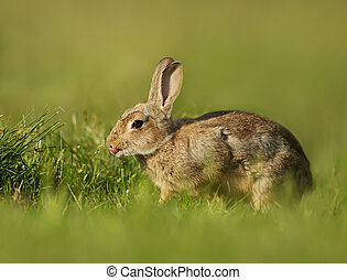 portrét, o, jeden, mládě, maličký, králík, do, ta, louka