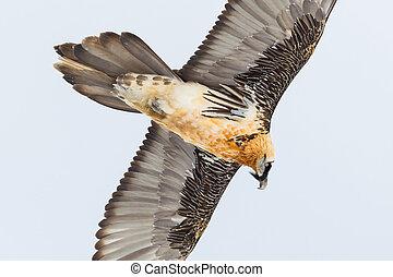 portrait adult bearded vulture bird in flight (gypaetus ...