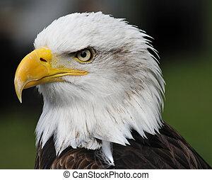 portrait, aigle, américain, chauve