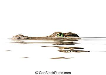 portrait alligator - portrait alligator on the white...