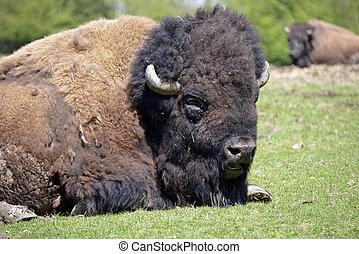 Portrait American bison