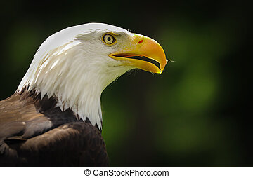 Portrait american eagle on the green background (Haliaeetus leucocephalus)