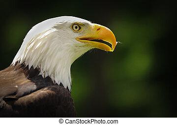 Portrait american eagle on the green background (Haliaeetus leucocephalus)
