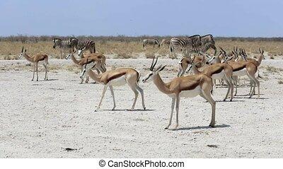 portrait, antilope, springbok