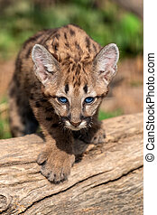 Portrait baby cougar, mountain lion