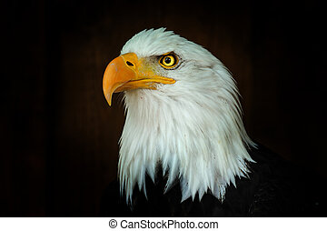 Portrait Bald eagle, Haliaeetus leucocephalus, on the black background