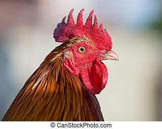 Portrait beautiful rooster close up
