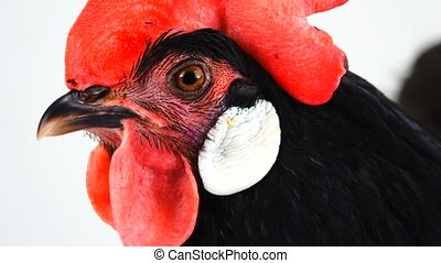 portrait black hen on a white background
