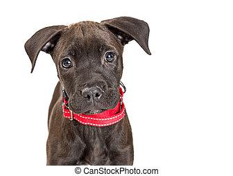 Portrait Black Terrier Dog Looking at Camera