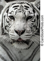 portrait, blanc, tigress, gros plan