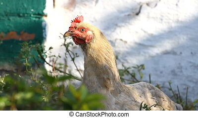 Portrait brown chicken in a village