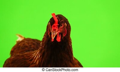 portrait brown hen isolated on green screen