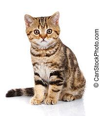 Portrait cat, scottish Straight