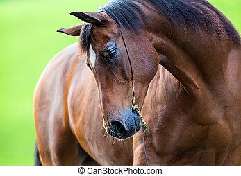 portrait, cheval, trakehner