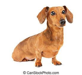 portrait, chien basset allemand
