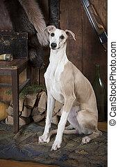 portrait, chien race, chasse, whippet