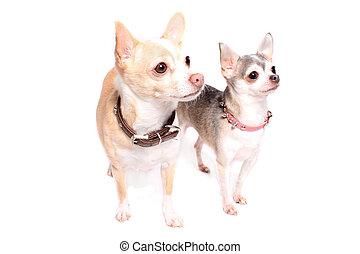 portrait, chihuahua, chien