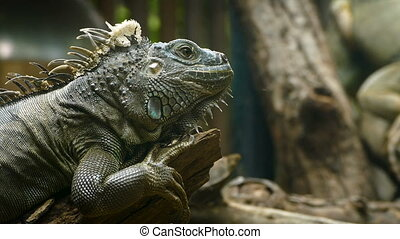 Green Iguana reptile in nature - Portrait close-up of Green...