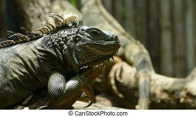 Green Iguana reptile in nature