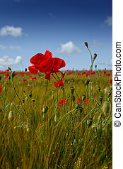 Portrait close up view of a single red poppy flower, in a field of barley, and other poppies in the distance, with a bright blue sky.