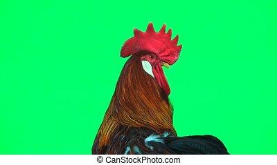 portrait cock  on  green screen