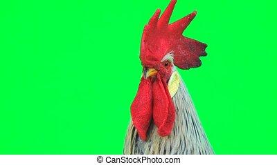portrait cock sings on  green screen