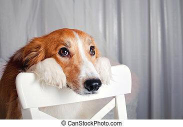 portrait, colley, frontière, studio, chien