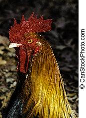 portrait, coq